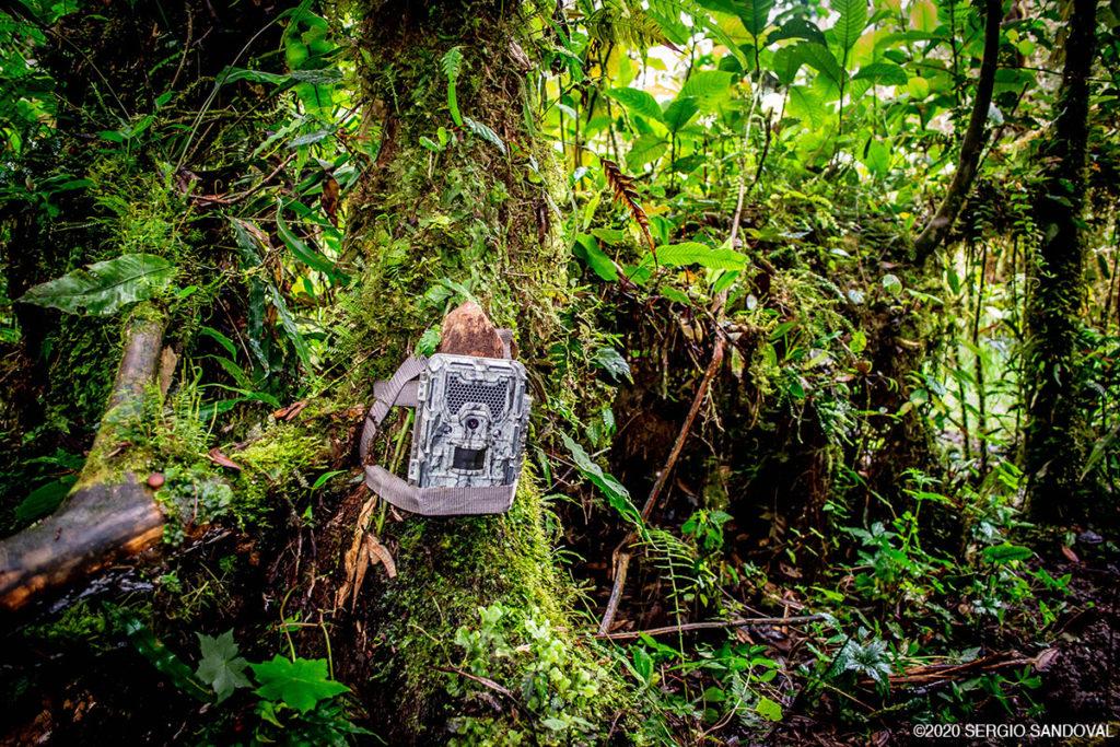 Mountain tapir camera trap
